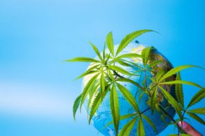 World Health Organization Recommendations a Step Towards Cannabis Legalization?