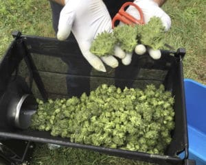 Cannabis overproduction in Oregon just as much of a problem as cannabis shortages in Canada.