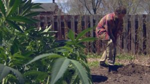 Homegrown Cannabis on the Rise, Costs Five Cents on the Dollar